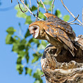 Barn Owl Owlet Climbs Out Of Nest by Tony Hake