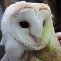 Barn Owl by Pamela Campbell