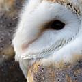 Barn Owl Portrait by Steev Stamford