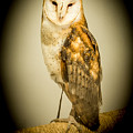 Barn Owl by Reed Tim