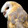 Barn Owl by Rose Santuci-Sofranko