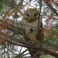 Barn Owl Sleeping by Craig Corwin