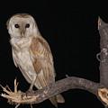Barn Owl Tyto Alba by Alon Meir
