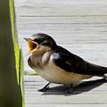 Barn Swallow 2017 1 by Buddy Scott