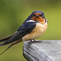 Barn Swallow by Amy Jackson