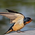 Barn Swallow by Byron Varvarigos
