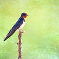 Barn Swallow, Hirundo Rustica by Liz Leyden