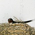 Barn Swallow Nesting by Douglas Barnett
