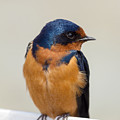 Barn Swallow Perched On A Fence Watching by Jit Lim