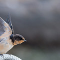 Barn Swallow Stretch by Jack Koch