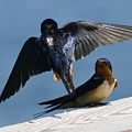 Barn Swallows by Christopher Kirby