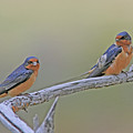 Barn Swallows by Gary Wing