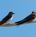 Barn Swallows  by Jan M Holden