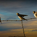 Barn Swallows On Barbwire Fence by Randall Nyhof