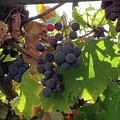 Barnyard Grapes by Rosanne Compitello