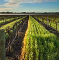 Barossa Vineyard Morning by Mike  Dawson