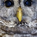 Barred Owl 2 by Captain Debbie Ritter
