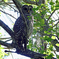 Barred Owl by D Hackett