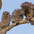 Barred Owl Family by Maggie Brown