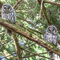 Barred Owl Fledglings by Carl Olsen