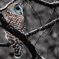 Barred Owl Hungry  by Jeff Folger