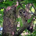 Barred Owl In A Tree by Rick Berk
