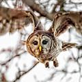 Barred Owl In Flight 4830 by Dan Beauvais