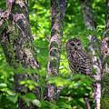 Barred Owl In Sieur Du Monts by Rick Berk
