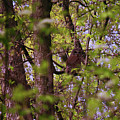 Barred Owl In The Forest by Laura Birr Brown