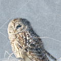 Barred Owl In The Snowstorm by Sharon Fiedler