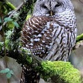 Barred Owl In Tree by Nick Gustafson