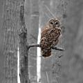 Barred Owl In Winter Woods #1 by Paul Rebmann