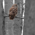 Barred Owl In Winter Woods #2 by Paul Rebmann