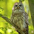 Barred Owl by Joe Gliozzo