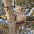 Barred Owl by John Burk