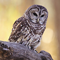 Barred Owl by John Hyde - Printscapes