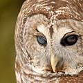 Barred Owl by Kristin Yata