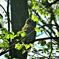 Barred Owl by Laura Birr Brown