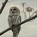Barred Owl On A Tree by Dan Sproul