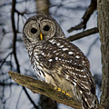 Barred Owl by Patricia Montgomery