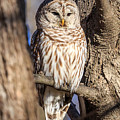 Barred Owl by Paul Schultz
