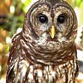 Barred Owl by Peg Urban