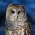 Barred Owl by Philip Ralley