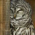 Barred Owl by Phill Doherty