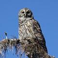 Barred Owl Portrait by Barbara Bowen