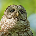 barred Owl Portrait by Joe Gliozzo