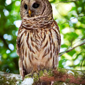 Barred Owl by Rich Leighton