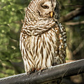Barred Owl by Robert Frederick