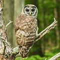 Barred Owl by Walt Sterneman