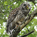 Barred Owl With A Snack by Keith Lovejoy